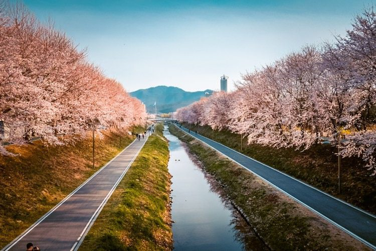cherry blossoms in korea at yangjae citizens forest