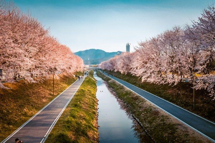 cherry blossoms in korea at yangjae citizens forest